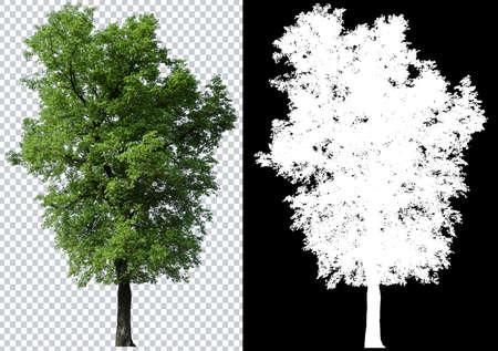einzelner Baum auf transparentem Bildhintergrund mit Beschneidungspfad, einzelner Baum mit Beschneidungspfad und Alphakanal auf schwarzem Hintergrund