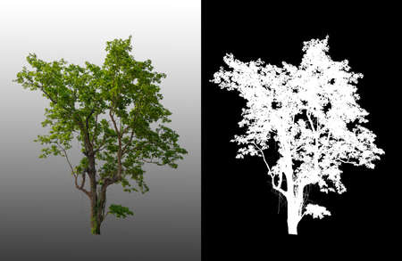 single tree with clipping path and alpha channel Zdjęcie Seryjne