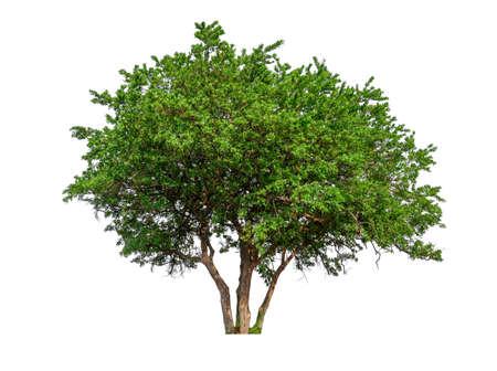 albero singolo con tracciato di ritaglio e canale alfa Archivio Fotografico