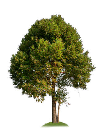 single tree with clipping path and alpha channel