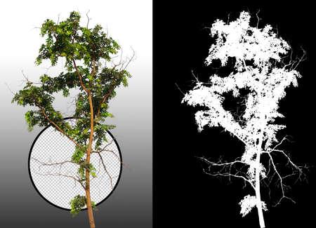 árbol único con trazado de recorte y canal alfa Foto de archivo