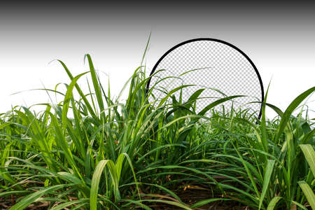 sugar cane field with clipping path, sugar leaves on white background with clipping path