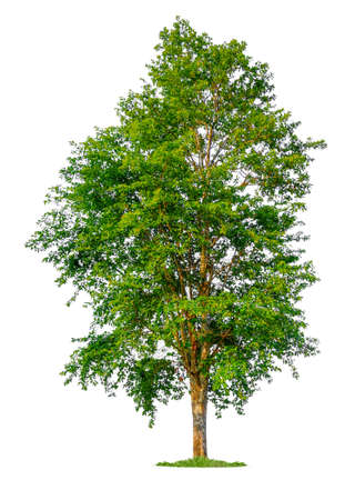 isolated single tree on white background with clipping path