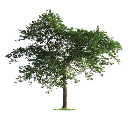 isolated single tree on white background with clipping path Reklamní fotografie