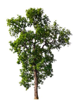 isolated single big tree on white background