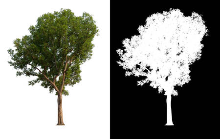 isolated tree on white background and alpha channel