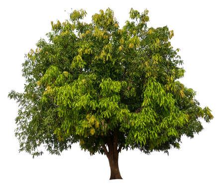 isolated mango tree on white background Stockfoto