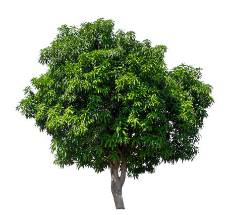 isolated mango tree on white background with clipping path and alpha channel Stockfoto - 134773005