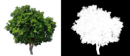 isolated mango tree on white background with clipping path and alpha channel Stockfoto - 134773008