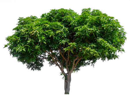 isolated mango tree on white background with clipping path and alpha channel 免版税图像 - 134773007