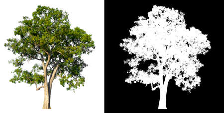 isolated tree on white background with clipping path and alpha channel Stockfoto - 134773013