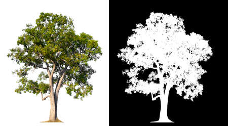 isolated tree on white background with clipping path and alpha channel Stockfoto - 134773015