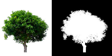 isolated mango tree on white background with clipping path and alpha channel Stockfoto - 134773020