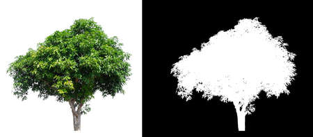 isolated mango tree on white background with clipping path and alpha channel Stockfoto - 134773022