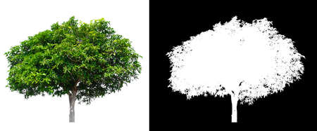 isolated mango tree on white background with clipping path and alpha channel Stockfoto - 134773024