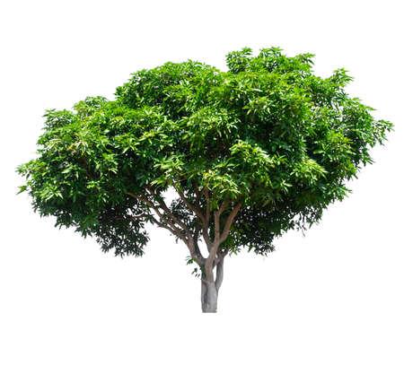 albero di mango isolato su sfondo bianco con tracciato di ritaglio Archivio Fotografico