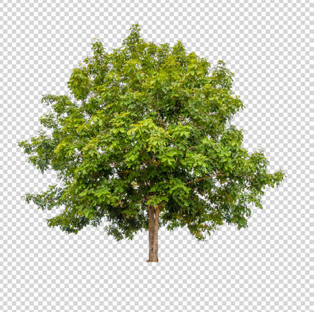 albero isolato su sfondo bianco con tracciato di ritaglio Archivio Fotografico