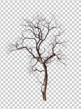 isolated death tree on transperrent picture background with clipping path