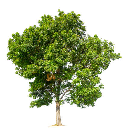 isolated tree on white background with clipping path Stockfoto