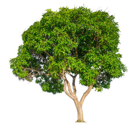 isolated mango tree on white background with clipping path
