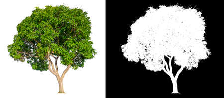 isolated mango tree on white background with clipping path and alpha channel