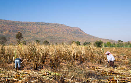 Burn and harvested raw sugar cane on the ground