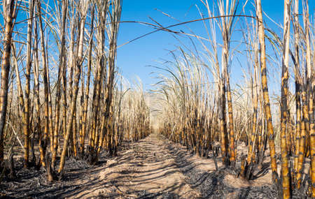 sugarcane field is burned for harvesting Stockfoto