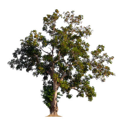 isolated tree on white background Stockfoto