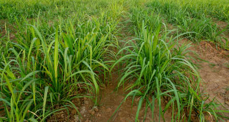 small sugar cane field and soil Stockfoto