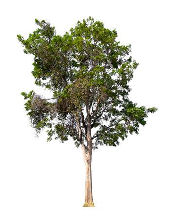 arbre isolé sur fond blanc avec chemin de détourage Banque d'images