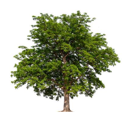 isolated tree on white background Stock Photo