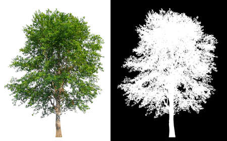 Isolated single tree on white background with clipping path and alpha channel  版權商用圖片