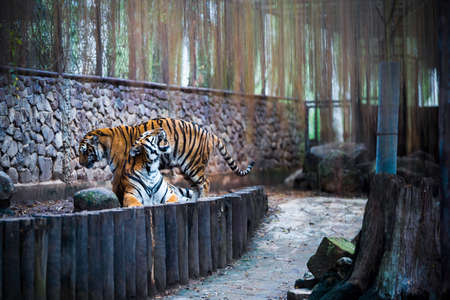 two tigers in zoo, big tigers