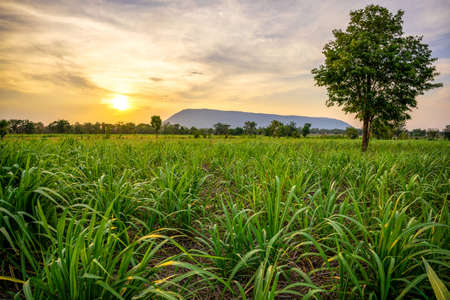 Sunset with small sugar plant in farm at big mountain