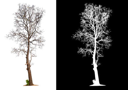 isolated tree without leaves with clipping path and alpha channal 版權商用圖片