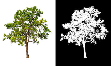 isolated tree on white background   and alpha channal 版權商用圖片