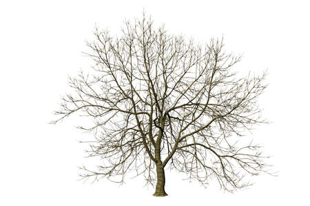 isolated tree without leaf on white background with clipping, 3D illustration rendering