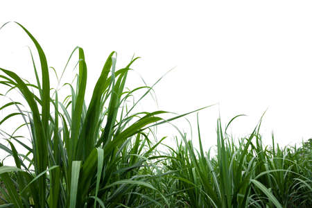 isolated sugar cane on white background with clipping path