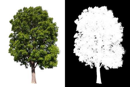 isolated big tree on white background