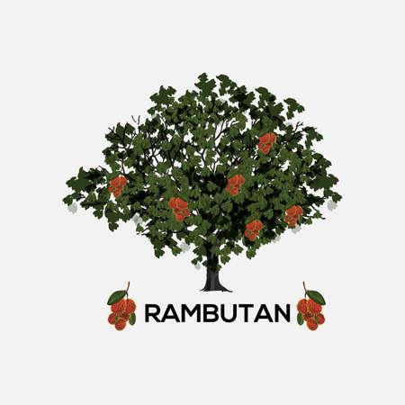 rambutan: rambutan tree. realistic - vector illustration