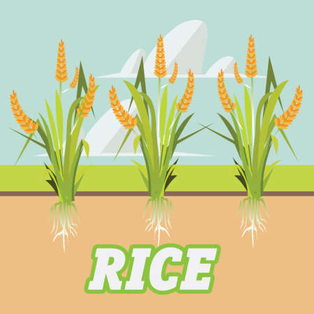 grain fields: rice -vector illustration