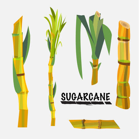grain fields: sugarcane - vector illustration Illustration