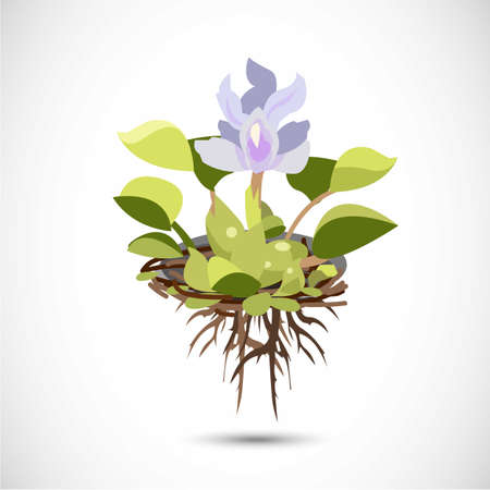 Water Hyacinth - vector illustration