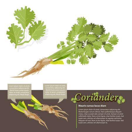 root vegetables: Coriander vegetables with coriander root. information design - vector illustration
