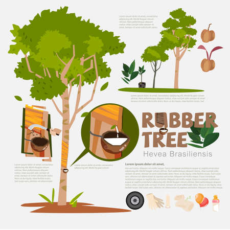 Rubber tree or Hevea brasiliensis with detail infographic elements.Milk of rubber tree. benefit. prodcut from rubber.