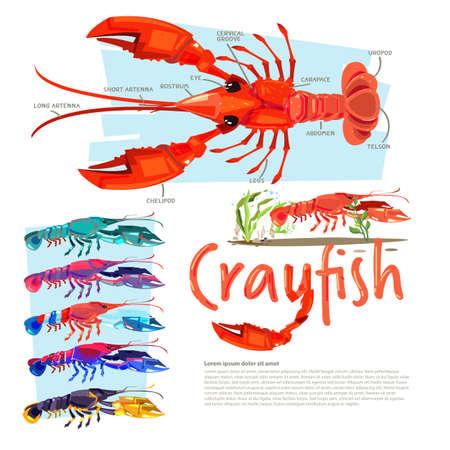 정보가있는 왕새우, 타이포 그래픽 디자인 가재와 함께 색이 다른 인포 그래픽 스타일, crawdads, 민물 가재.