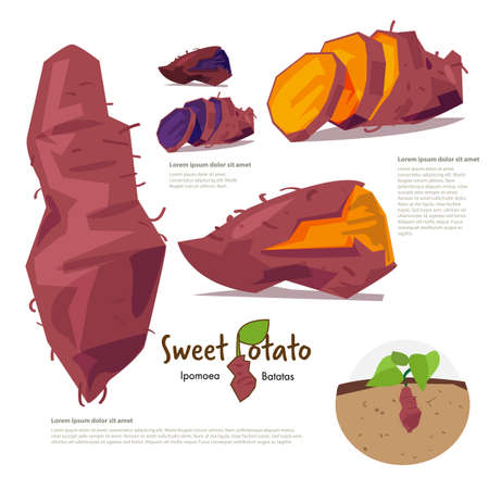 sweet potatp. information graphic - vector illustration Çizim