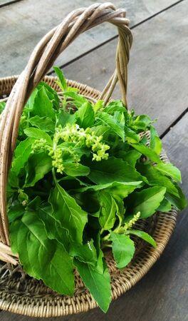 Holy Basil or Ocimum tenuiflorum in Basket