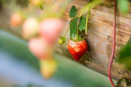 strawberry in my garden