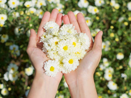 chrysanthemum in my hand Standard-Bild